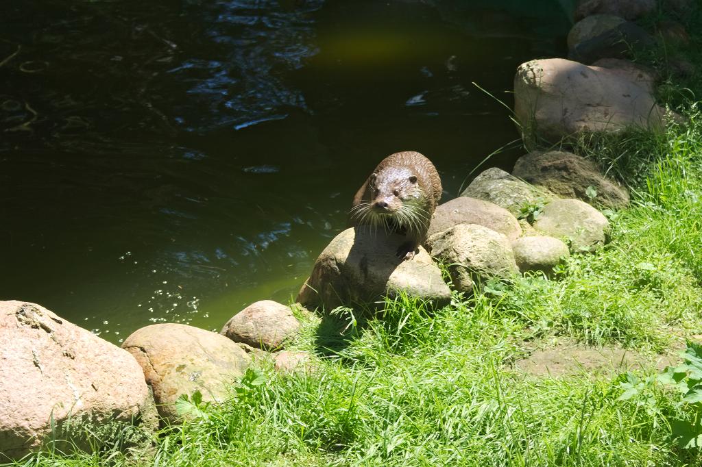 Ein Otter, aufgenommen im Wildpark Schwaze Berge