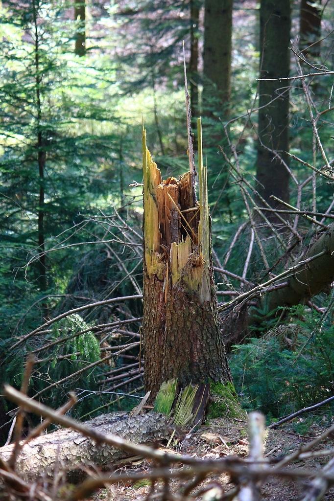 Ein Baumpstumpf in den Wäldern Südwestlich von Harburg